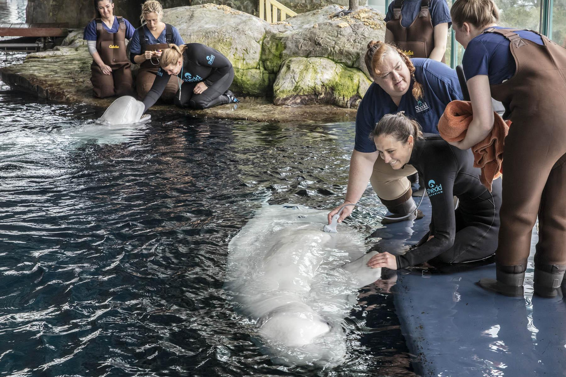 Shedd Aquarium's veterinary team perform a routine ultrasound on Mauyak, a 38-year-old beluga whale, to check in on her developing calf. (Brenna Hernandez / Shedd Aquarium)