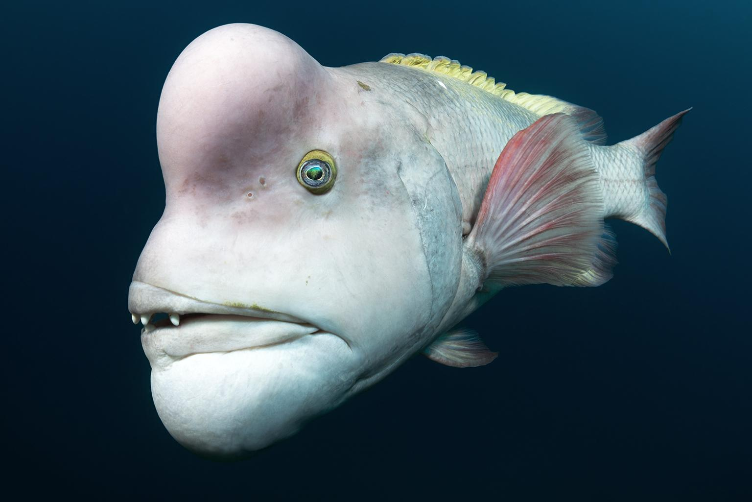 This male Asian sheepshead wrasse is looking for love off of Sado Island, Japan. He is intent on impressing females, and fending off rivals, which he will head-butt and bite. (© Tony Wu, United States of America)