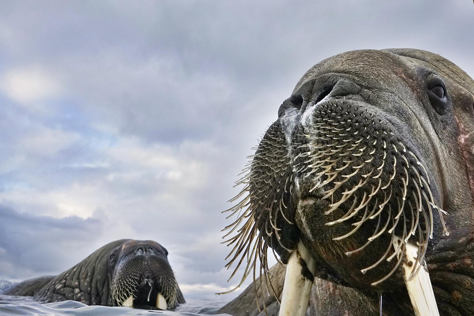 Having spotted walruses from his dinghy off the coast of Svalbard, Norway, photographer Valter Bernardeschi slipped into icy water to photograph them. He captured these young walruses with his camera on a float. (© Valter Bernardeschi, Italy)