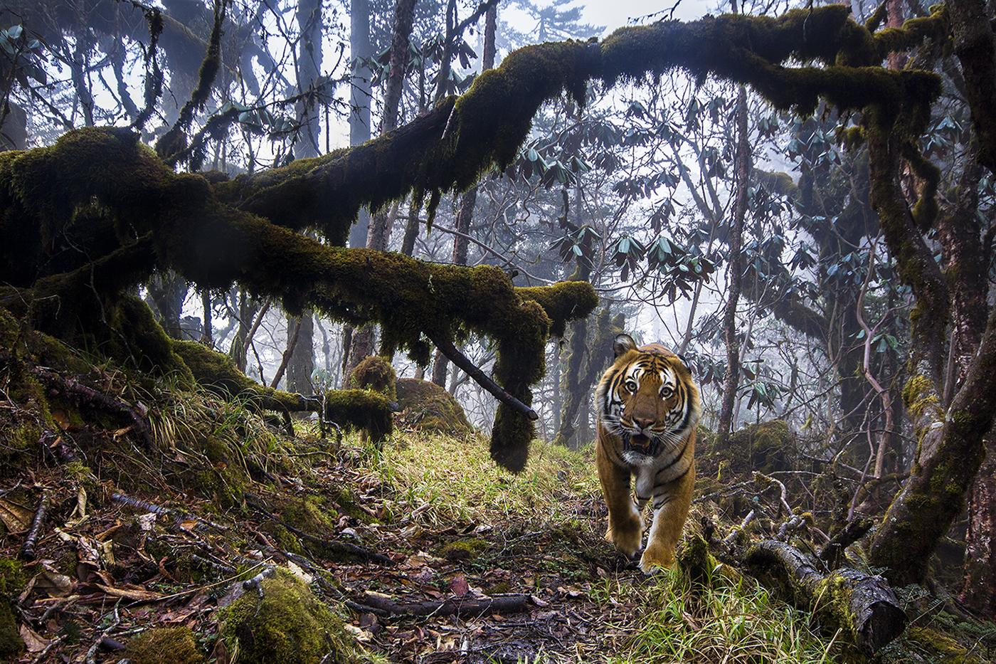 To capture this shot, photographer Emmanuel Rondeau set up eight triggered cameras in the Trongsa District of the Kingdom of Bhutan. Working with local rangers, he chose locations known to see tigers passing through. (© Emmanuel Rondeau, France)