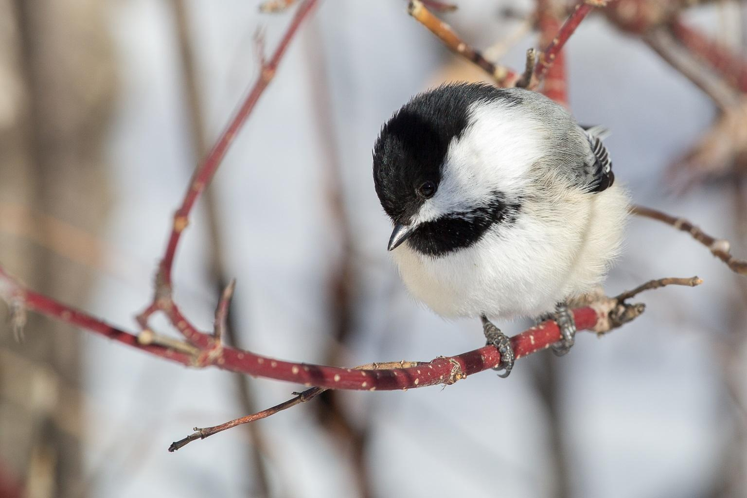 A black-capped chickadee (David A. Mitchell / Flickr)