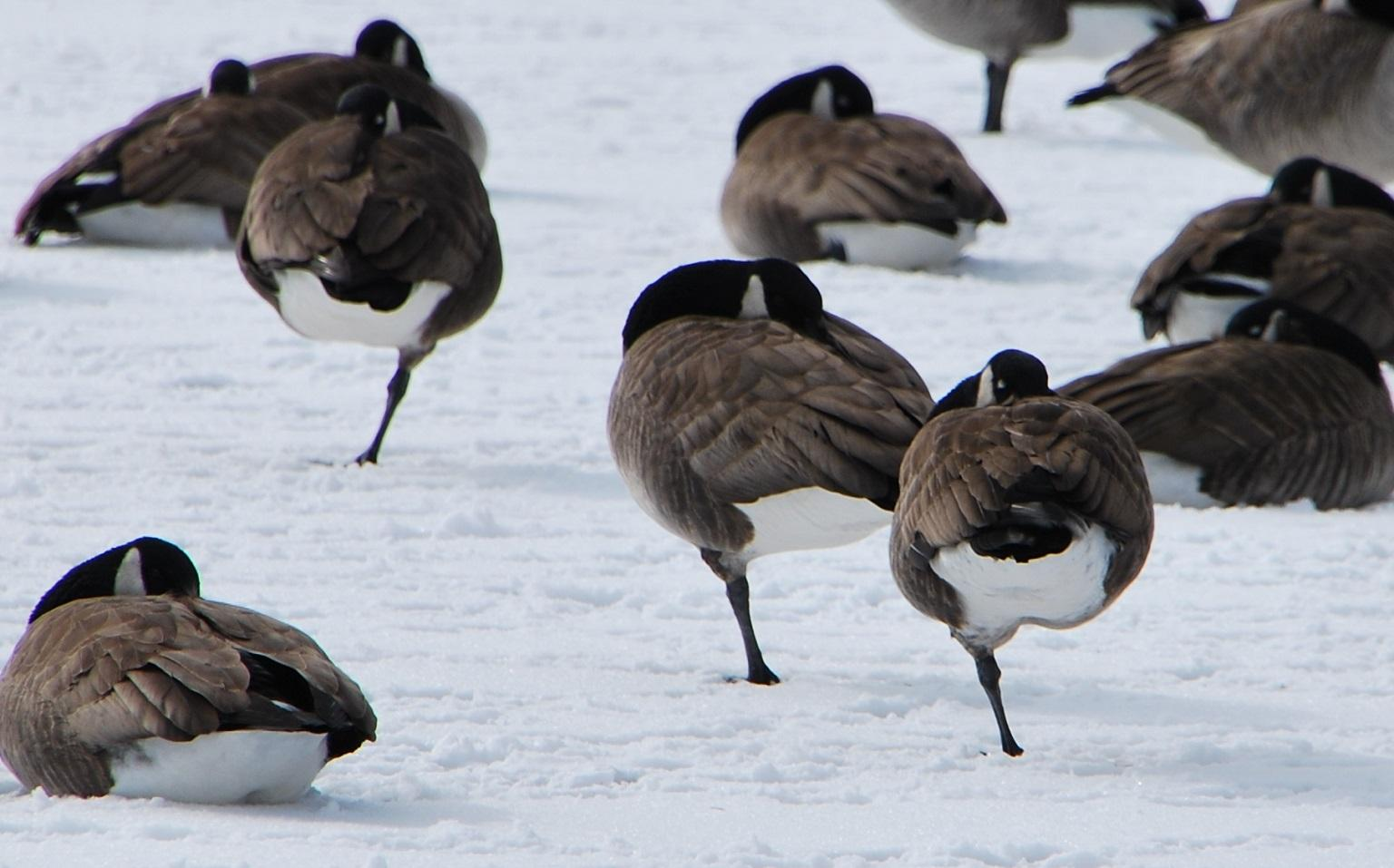 Canada geese conserving body heat by standing on one leg (Ted / Flickr)
