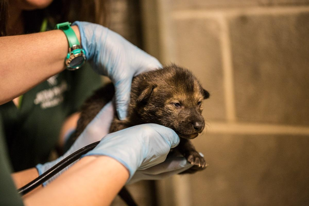 A red wolf pup at Lincoln Park Zoo. Once fully grown, red wolves typically weigh about 90 pounds. (Christopher Bijalba / Lincoln Park Zoo)