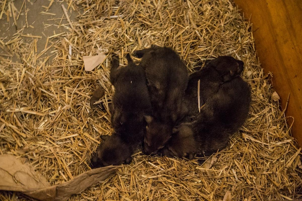 Four red wolf pups were born April 13 at Lincoln Park Zoo. (Christopher Bijalba / Lincoln Park Zoo)