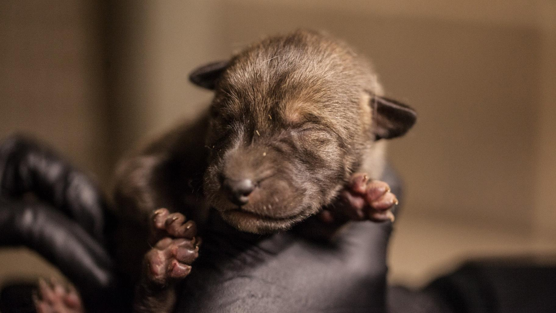 A red wolf pup at Lincoln Park Zoo (Christopher Bijalba / Lincoln Park Zoo)