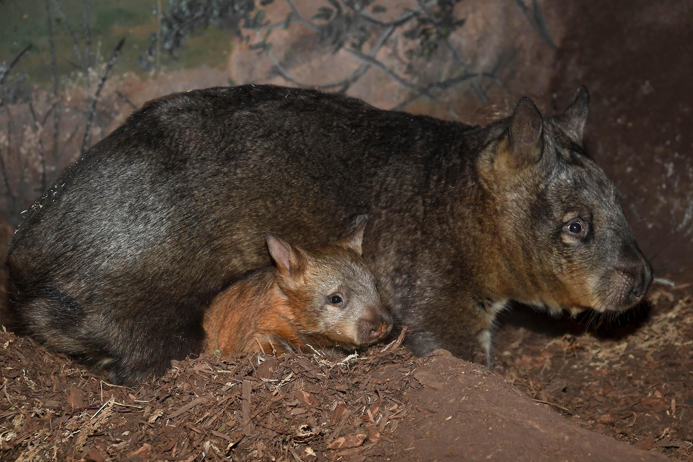 The wombat joey with her 17-year-old mom, Kambora, at Brookfield Zoo. (Jim Schulz / Chicago Zoological Society)