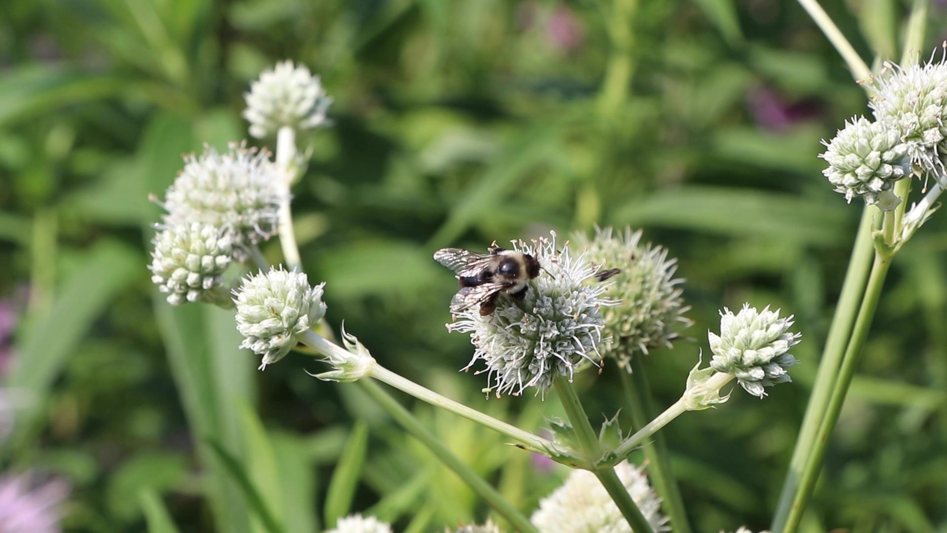 A bee lands on an eryngium yuccifolium, a prairie plant also known as  rattlesnake master. (Evan Garcia / WTTW News)