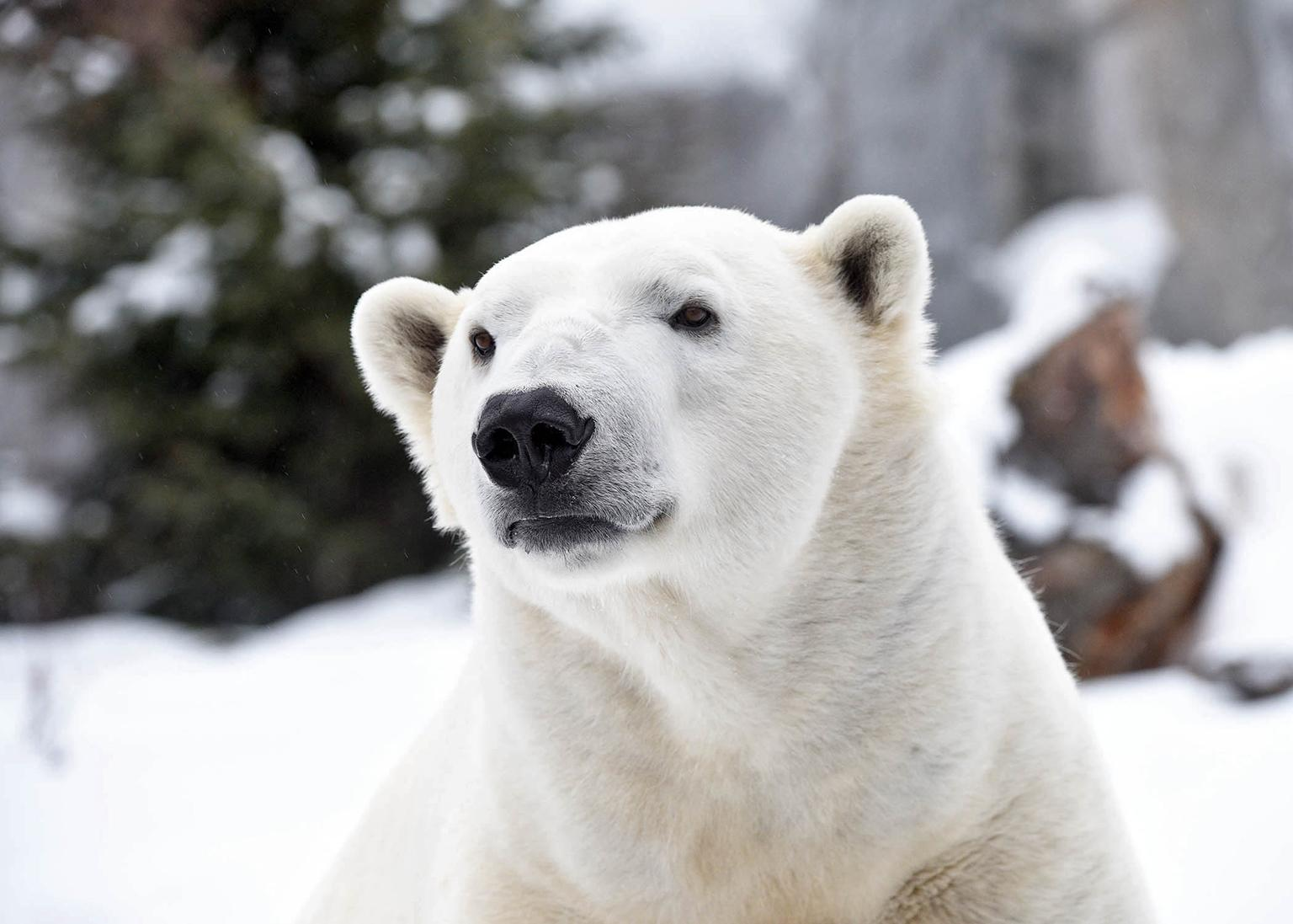 Hudson, a polar bear at Brookfield Zoo (Courtesy Chicago Zoological Society)