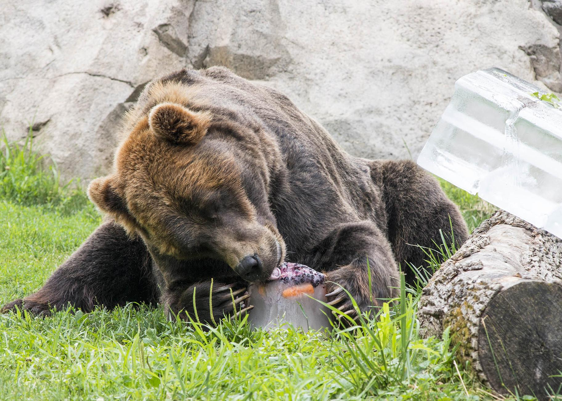 Grizzly bear Axhi plays with an ice treat filled with a variety of fruit. (Kelly Tone / Chicago Zoological Society)