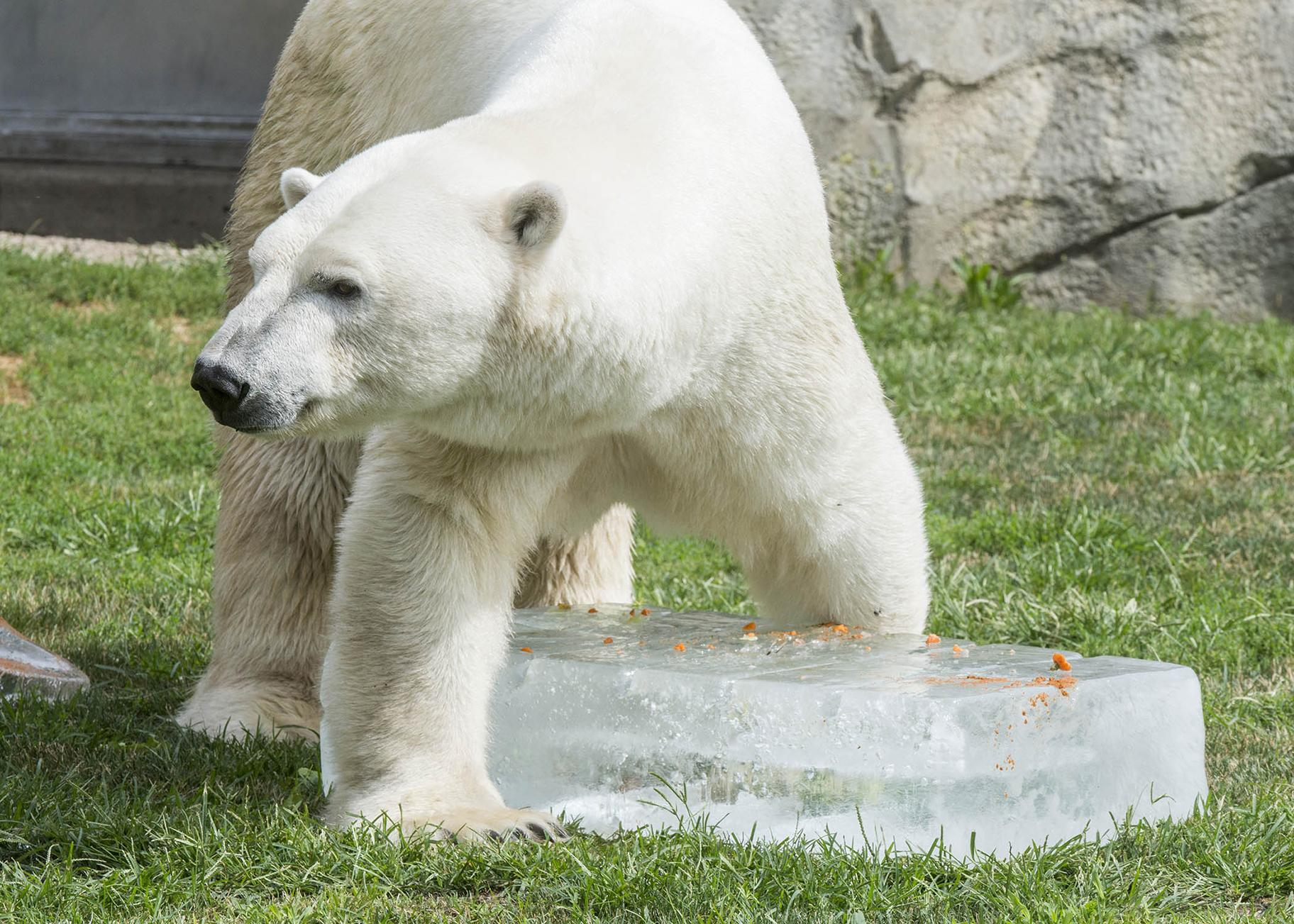 Hudson, one of Brookfield Zoo's polar bears, stands over a 300-pound block of ice. (Kelly Tone / Chicago Zoological Society)