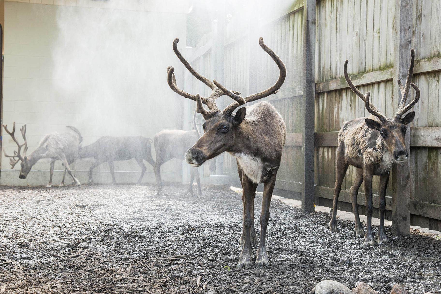 Reindeer at Brookfield Zoo keep cool by standing near misters set up by animal care staff in the reindeer habitat. (Kelly Tone / Chicago Zoological Society)