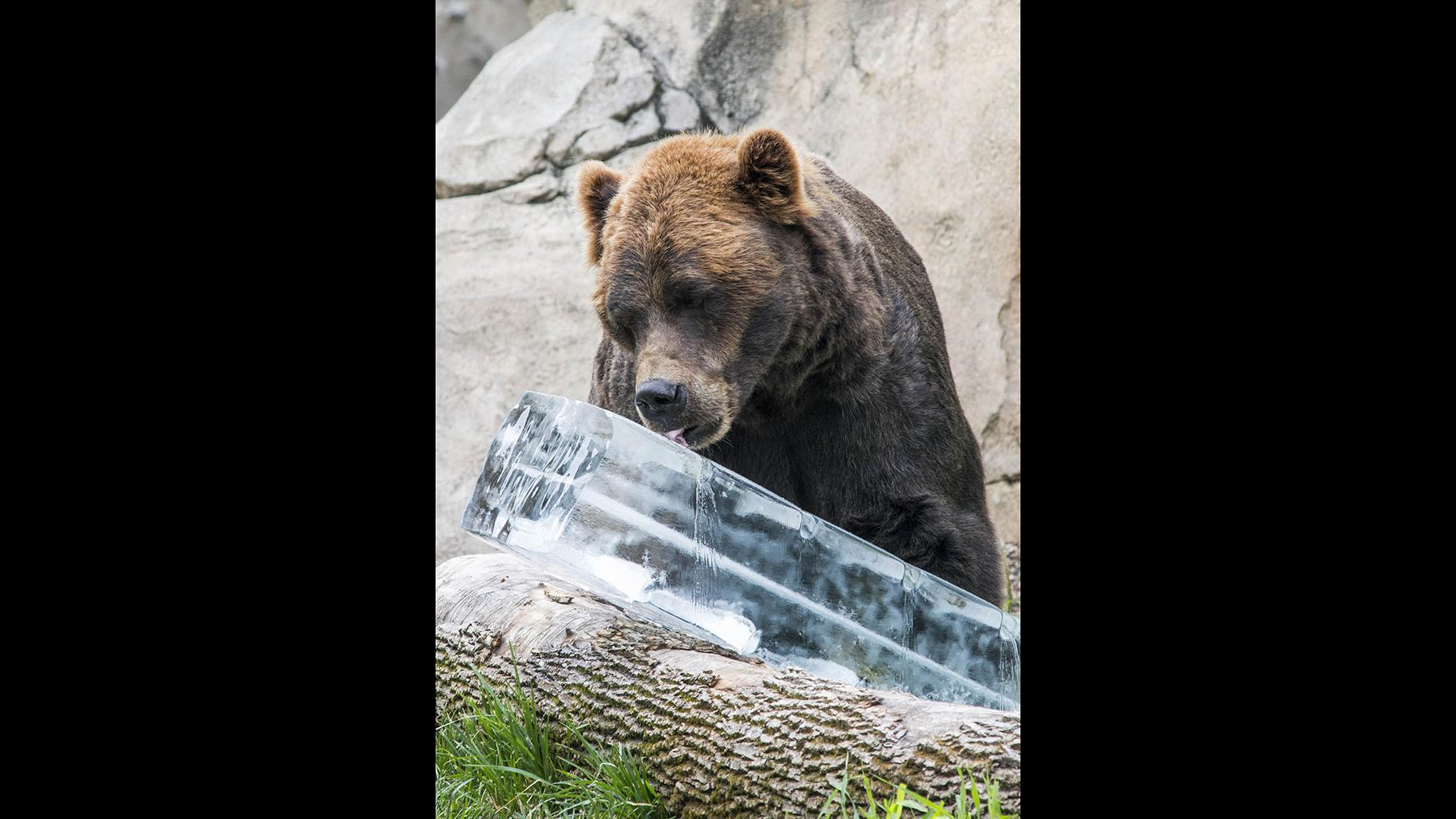 Axhi, a grizzly bear at Brookfield Zoo, enjoys a 300-pound block of ice. (Kelly Tone / Chicago Zoological Society)
