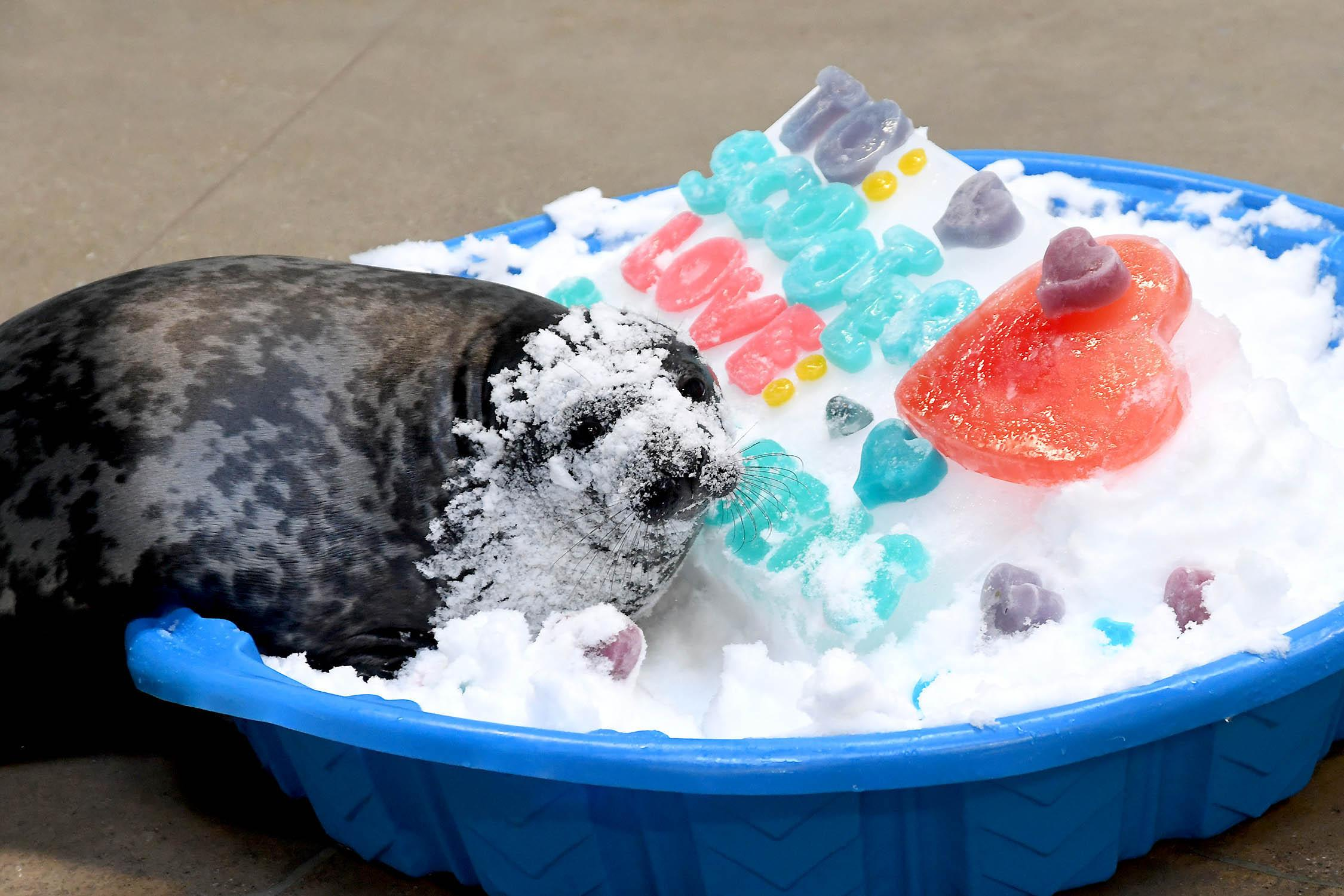 Scooter, a nearly 2-month-old gray seal at Brookfield Zoo, enjoys a Valentine's Day treat of gelatin served with a side of snow. (Jim Schulz / Chicago Zoological Society)