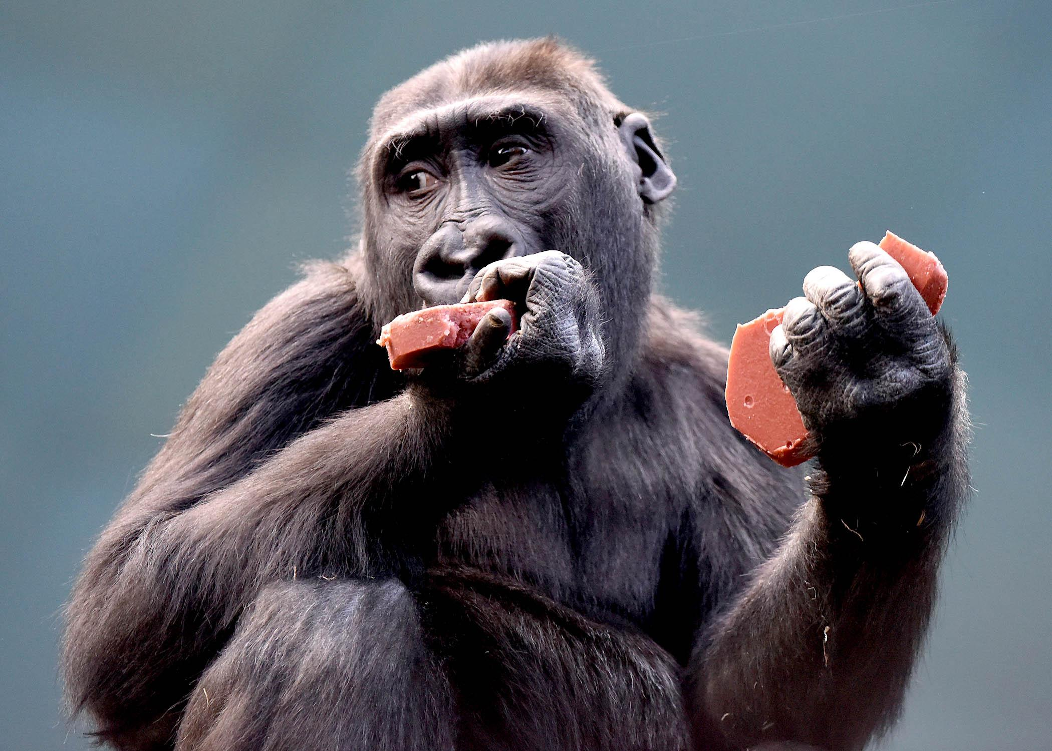 Nora, a 4-year-old western lowland gorilla, eats a heart-shaped treat made of biscuit and gelatin. (Jim Schulz / Chicago Zoological Society)