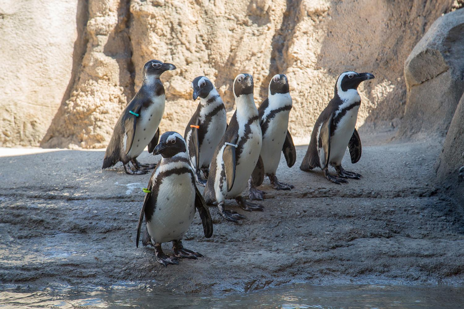 Penguins at Lincoln Park Zoo took notice of Monday's solar eclipse, research scientist Katie Cronin said. (Julia Fuller / Lincoln Park Zoo)