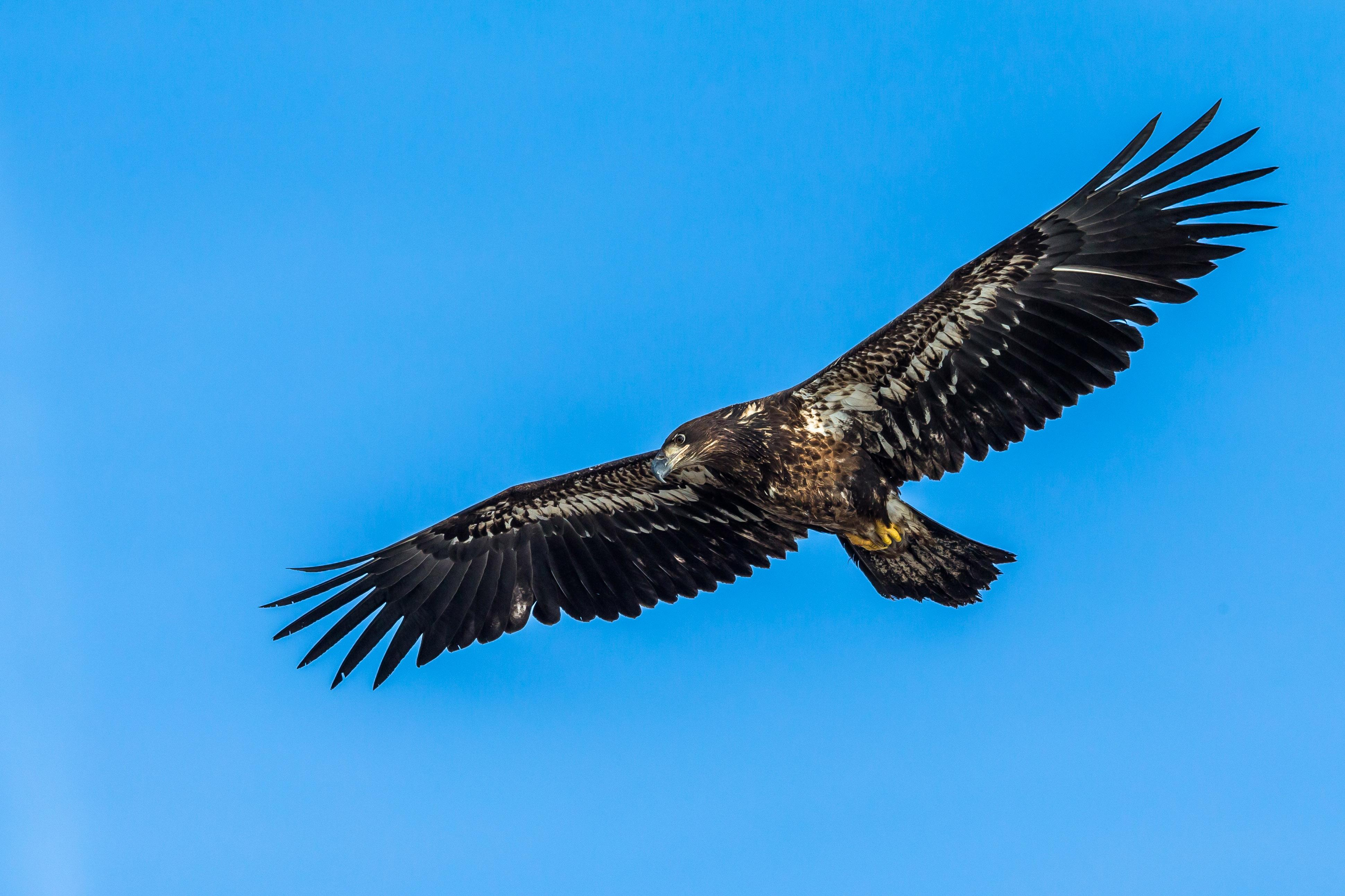 An immature bald eagle. It will get its distinctive white feathers at age 4 or 5. (Photo credit: Josh Feeney)