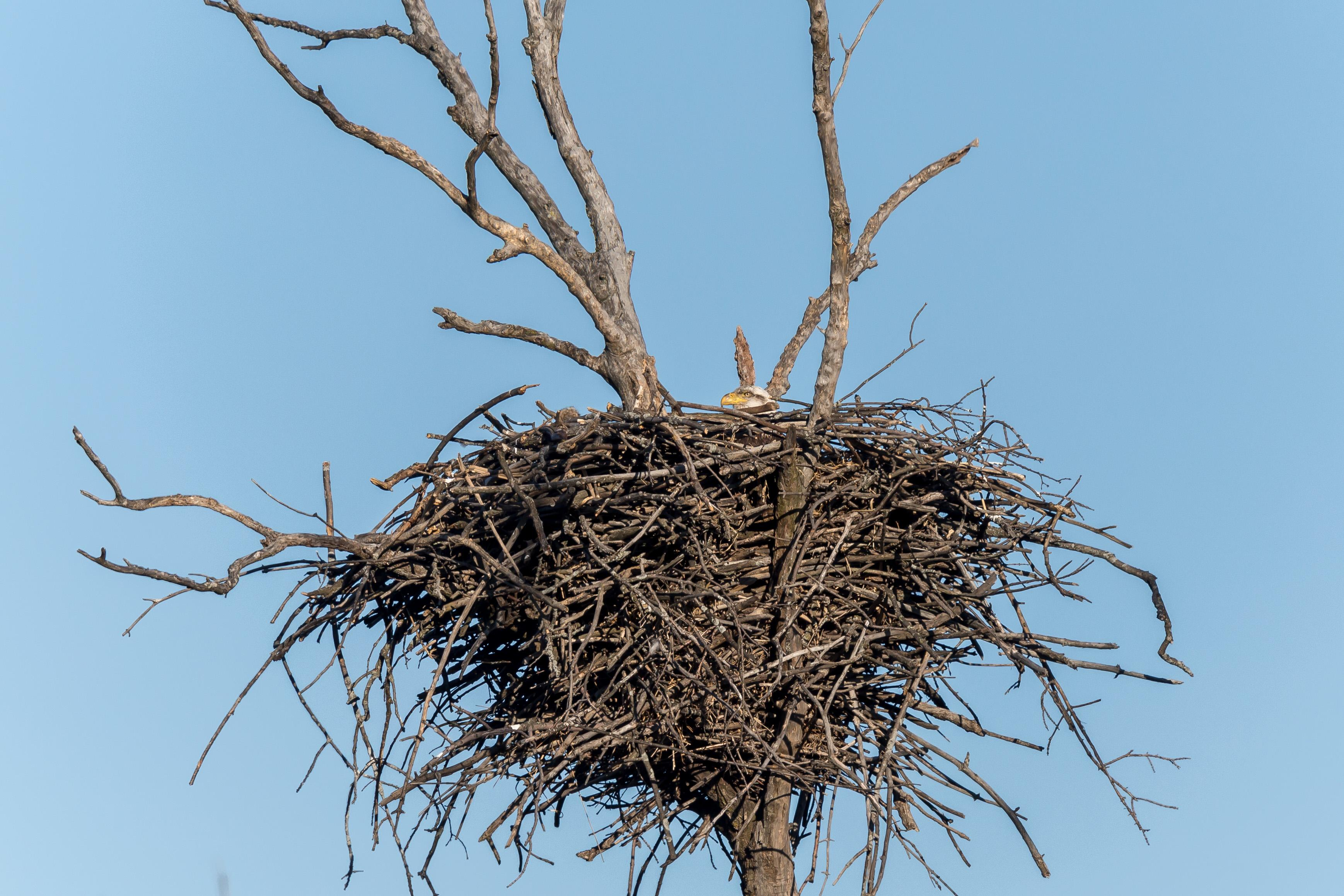 A bald eagle nest in Busse Woods. The female is thought to be sitting on at least one egg.  Her head is just barely visible as she keeps a close eye on visitors. (Photo credit: Josh Feeney)