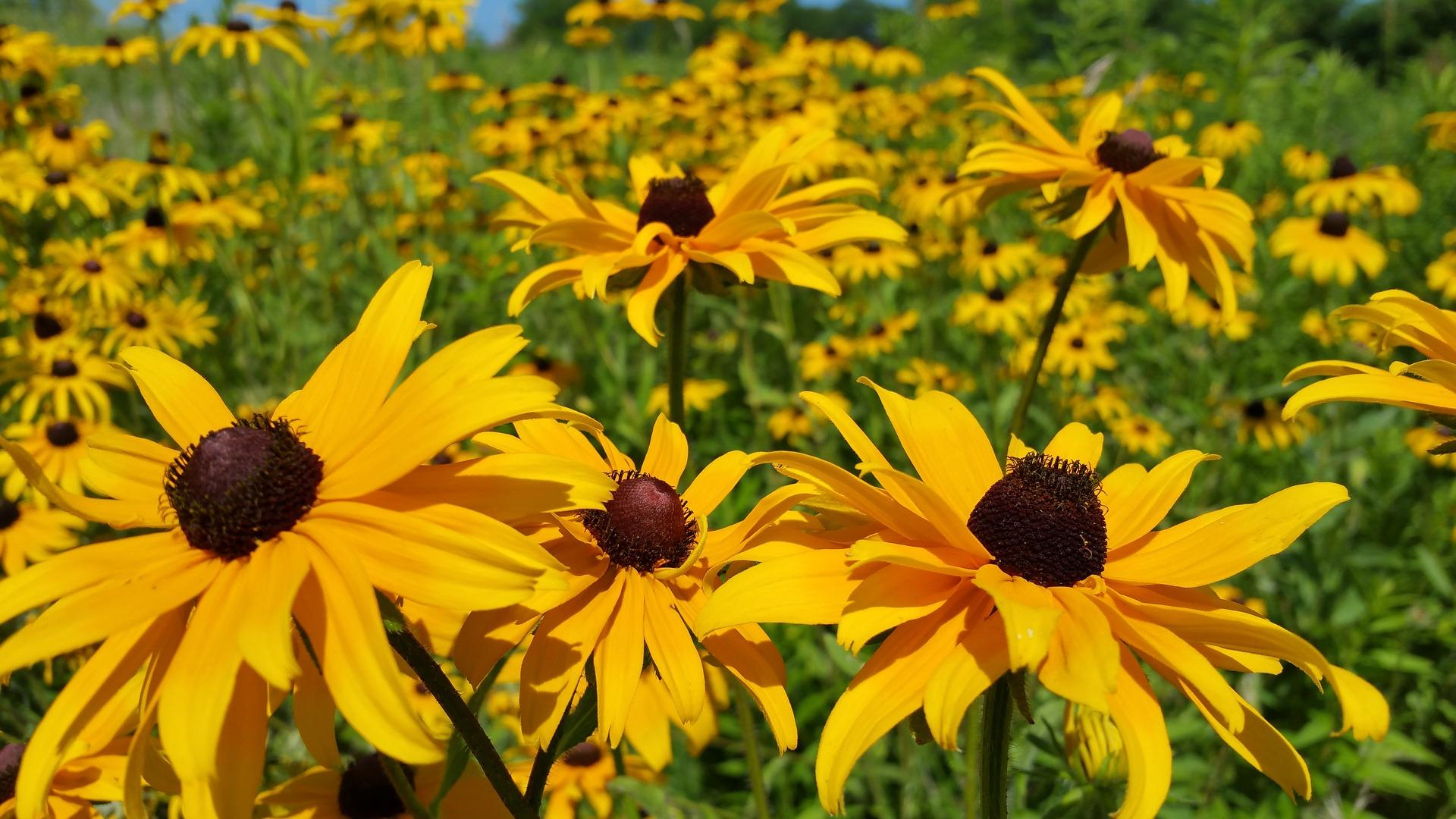 Black-eyed Susans are among the many types of native plants available for purchase. (brian60174 / Pixabay)