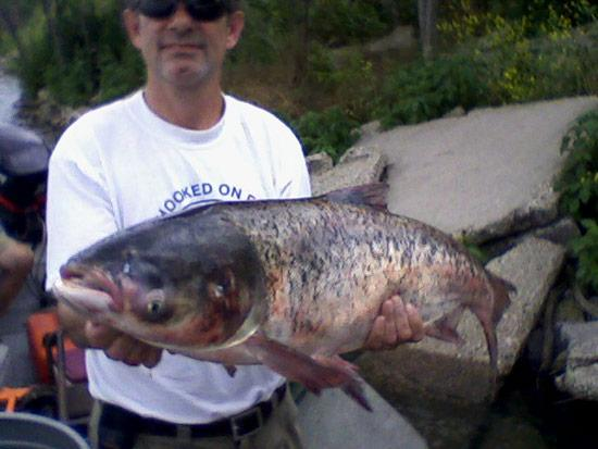 A bighead carp was found in Lake Calumet in 2010. (Illinois Department of Natural Resources)