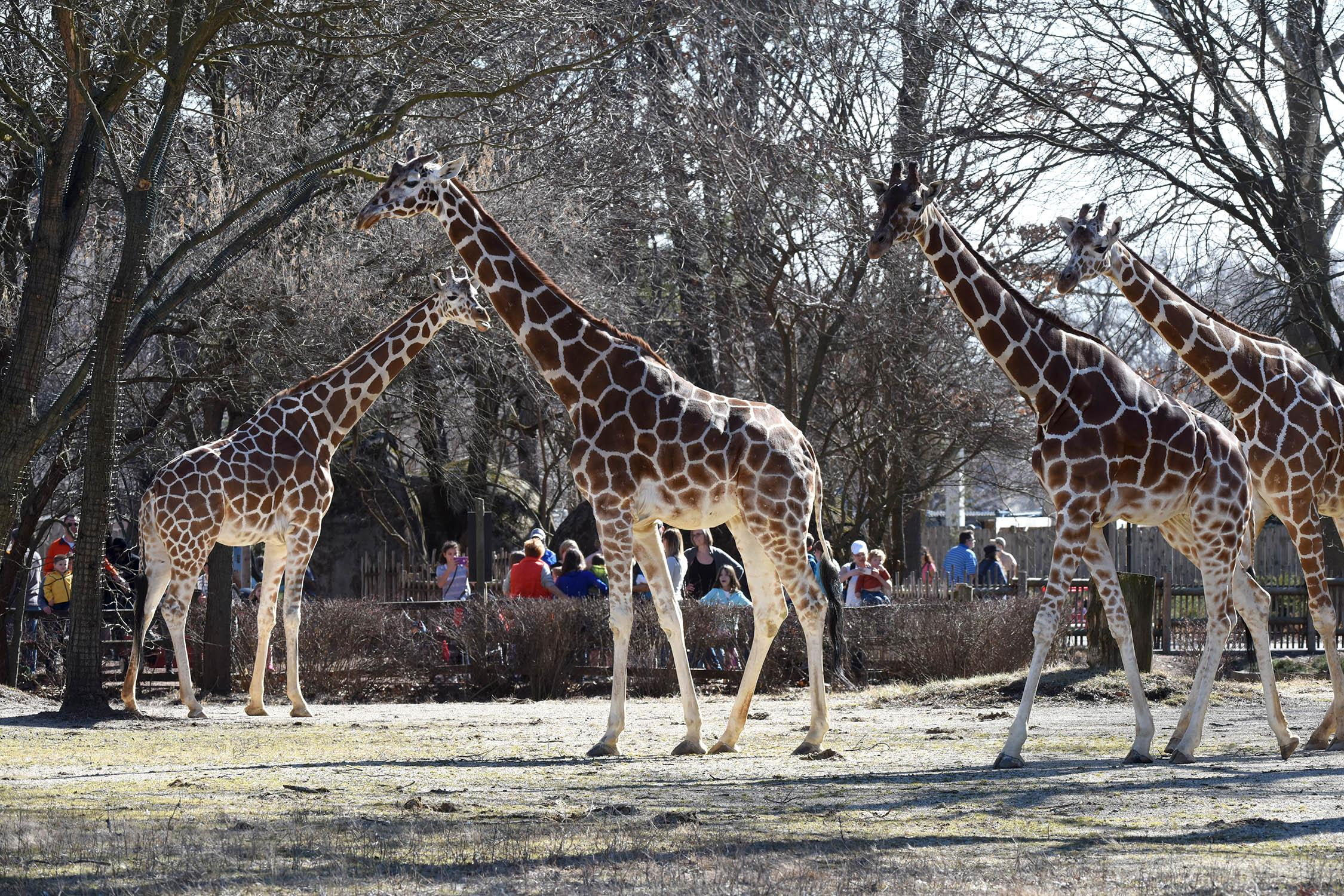Brookfield Zoo's four giraffes: Mithra, 26; Jasari, 11; Arnieta, 10; and Potoka, 3. (Courtesy of Brookfield Zoo)