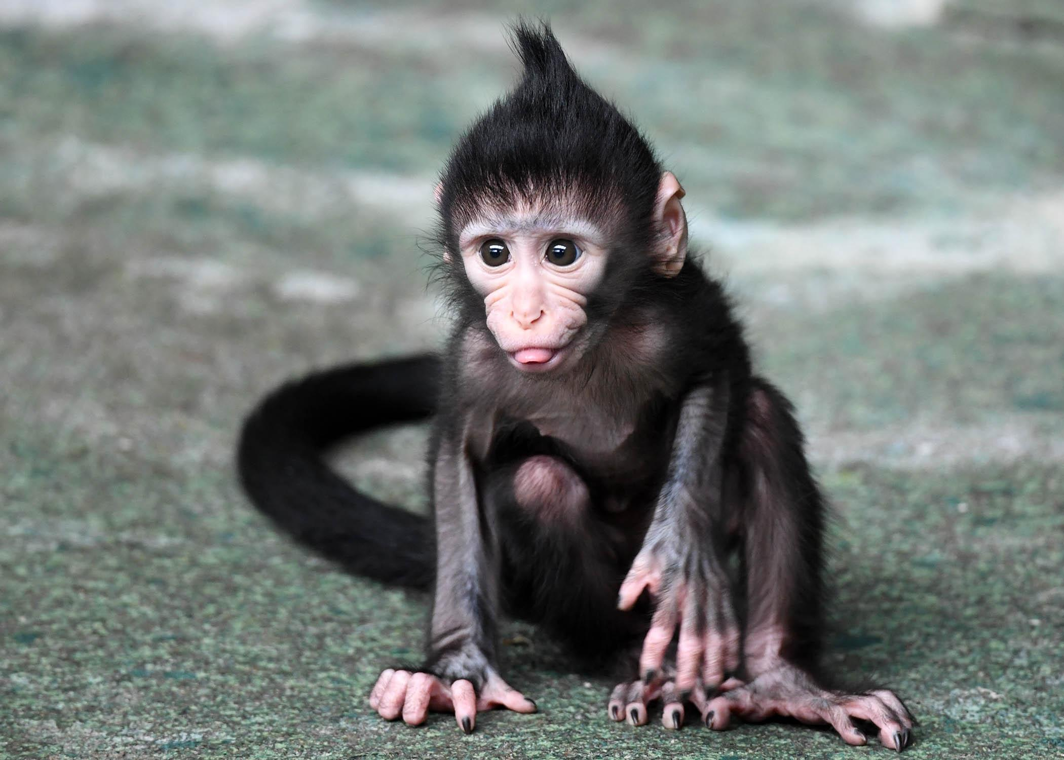 Baby monkey Zingo (Jim Schulz / Chicago Zoological Society)