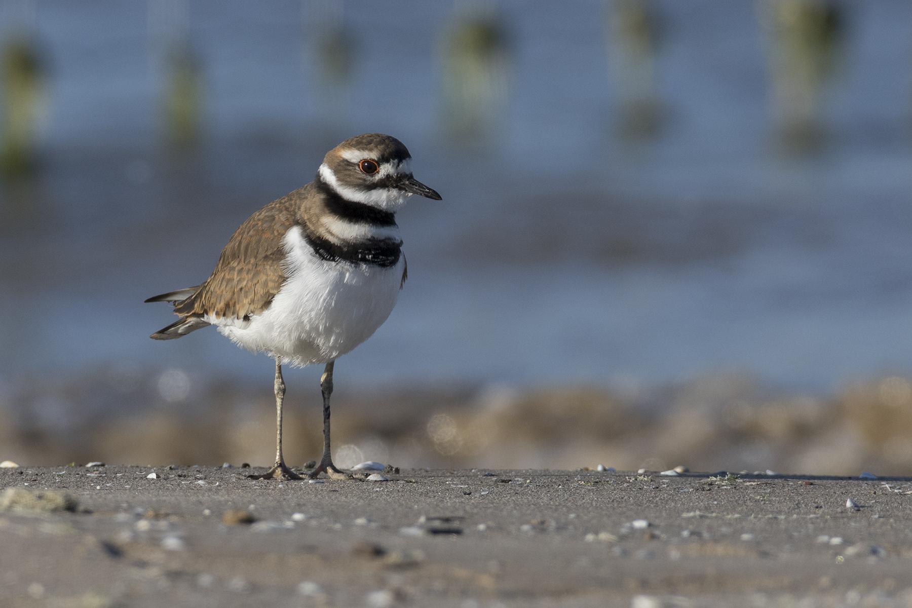 What's That Sound? Distinctive Birdcalls Heard in Chicago