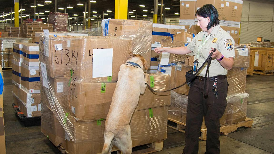 U.S. Fish and Wildlife Service inspector Amanda Dickson trains her canine partner Lancer to locate a rhino horn within a package. (Kelly Tone / Chicago Zoological Society)