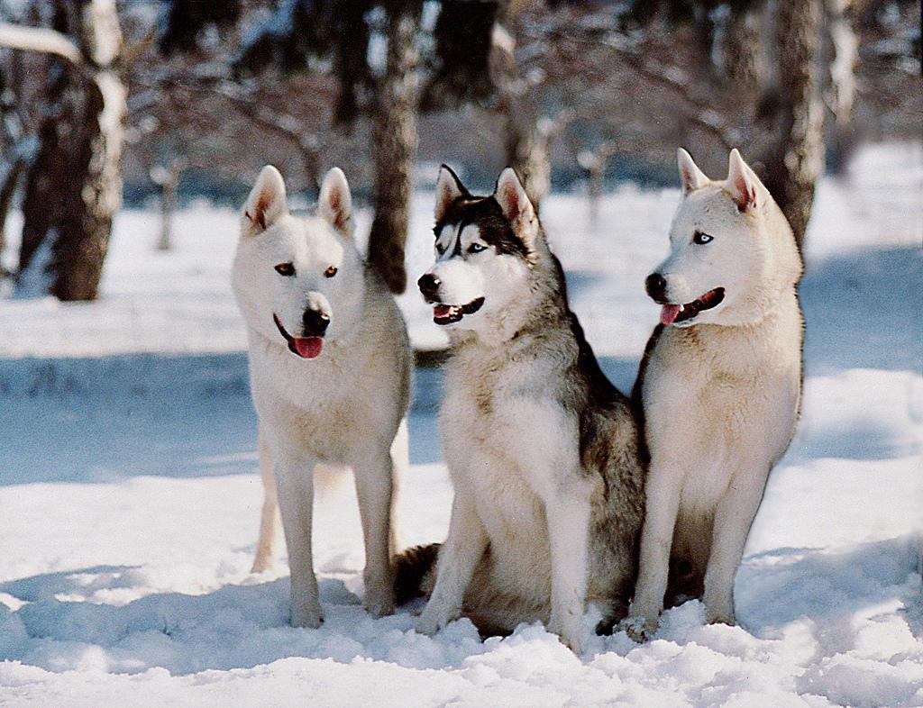 Siberian Huskies are one of many types of animals present at the Polar Adventure Days. (Ritmo / Flickr)