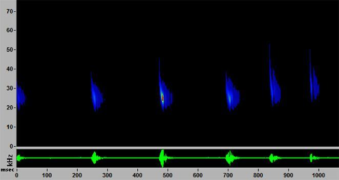 A spectogram shows sounds of a big brown bat detected by Lincoln Park Zoo's monitors. The frequency (kHz) is on the y-axis, and the time (msec) is on the x-axis. (Lincoln Park Zoo)