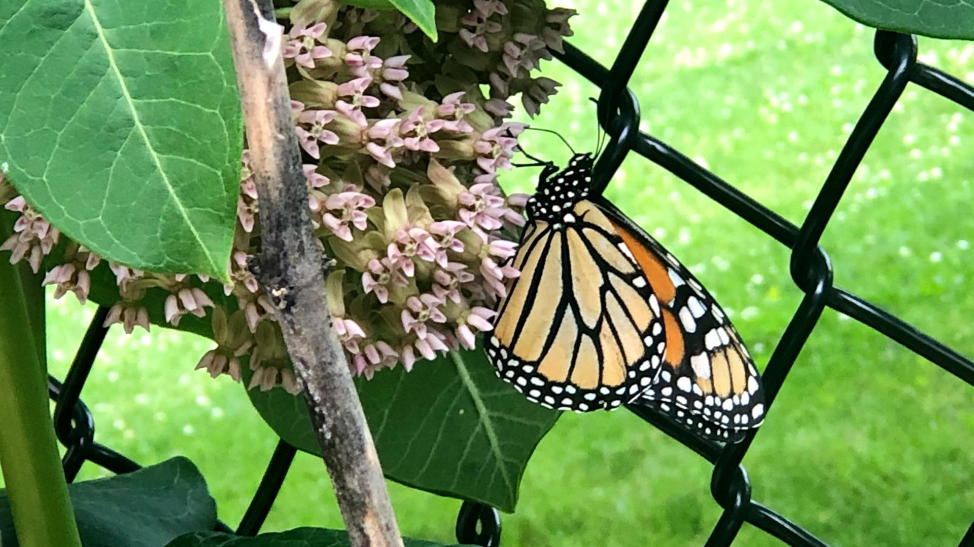 A monarch butterfly feeds on milkweed, which is the sole food source for monarch caterpillars. (Patty Wetli / WTTW News)