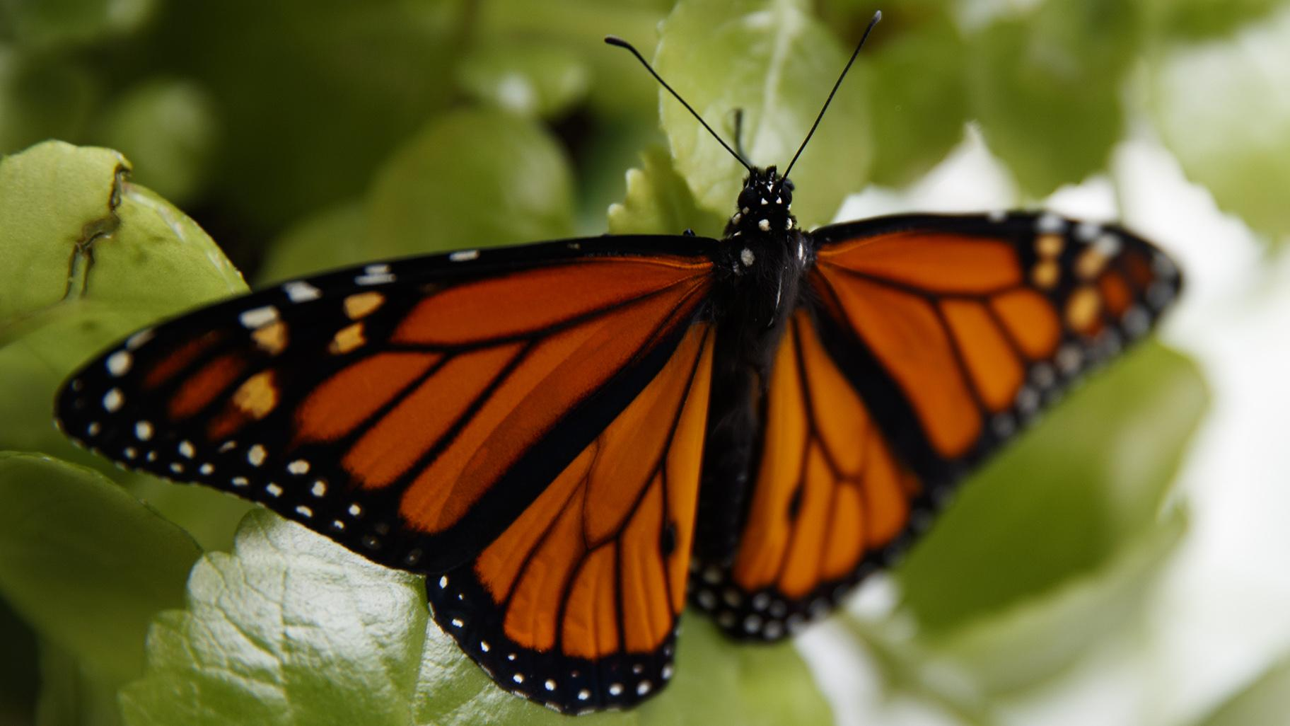 In this June 2, 2019, file photo, a fresh monarch butterfly rests on a Swedish Ivy plant soon after emerging in Washington. (AP Photo / Carolyn Kaster, File)