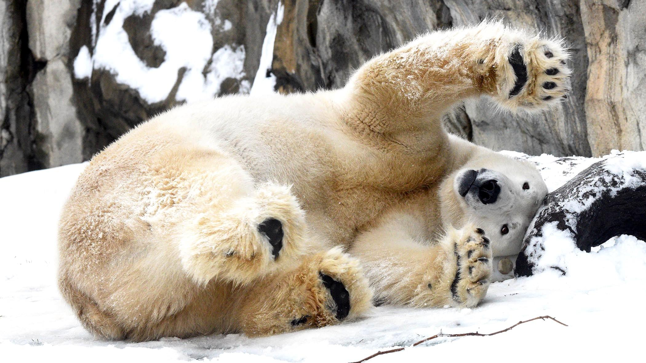 Hudson, Brookfield Zoo's 14-year-old polar bear, frolics in the snow. (Jim Schulz / Chicago Zoological Society)