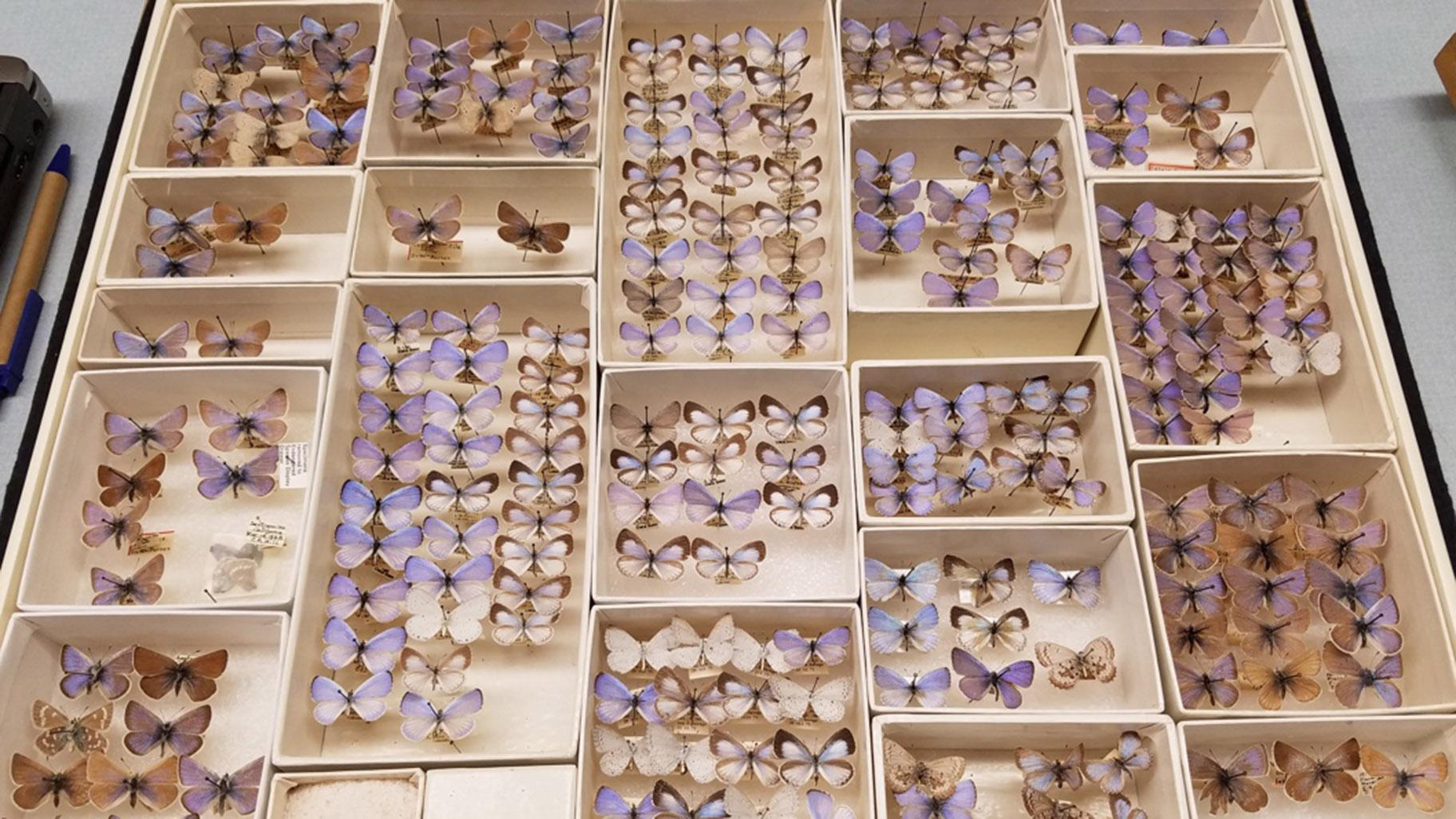Specimens of the extinct Xerces blue butterfly, in the Field Museum's collection. (Courtesy of Field Museum)