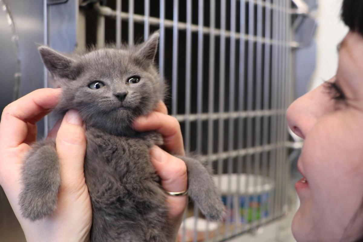 The Anti-Cruelty Society Chief Program Officer Lydia Krupinski holds a kitten in the Chicago shelter's kitten nursery. (Evan Garcia / WTTW News)