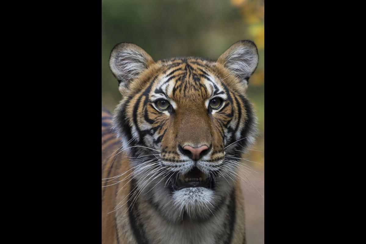 This undated photo provided by the Wildlife Conservation Society shows Nadia, a Malayan tiger at the Bronx Zoo in New York. (Julie Larsen Maher / Wildlife Conservation Society via AP)