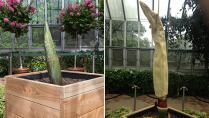 Spike, a corpse plant, pictured in early August, left, and early September, right.