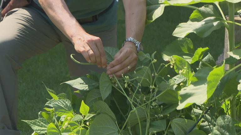 Organic gardener Jeanne Nolan at the WTTW vegetable garden. (Chicago Tonight)