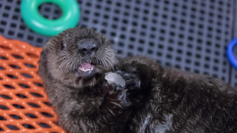 Shedd Aquarium's Animal Response Team has been assisting with the rehabilitation of an orphaned sea otter pup in Seward, Alaska. (©Shedd Aquarium / Brenna Hernandez)