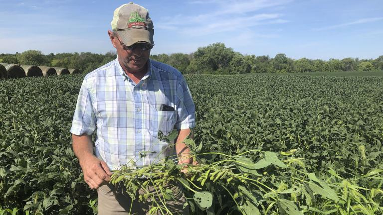 Farmer Randy Miller is shown with his soybeans, Thursday, Aug. 22, 2019, at his farm in Lacona, Iowa.  (AP Photo / Julie Pace)
