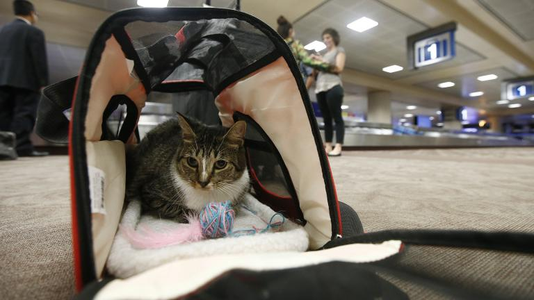 In this Sept. 20, 2017, file photo, Oscar the cat, who is not a service animal, sits in his carry on travel bag after arriving at Phoenix Sky Harbor International Airport in Phoenix. (AP Photo / Ross D. Franklin, File)