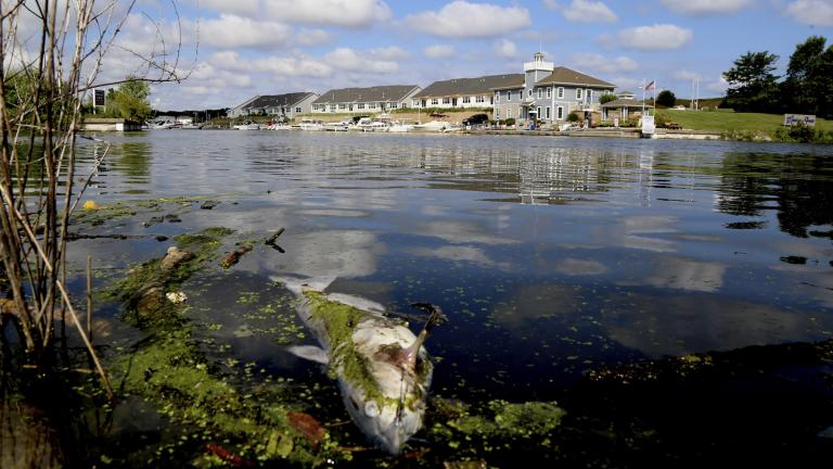 In this Thursday, Aug. 15, 2019 photo, a dead catfish floats along the bank of the Burns Ditch near the Portage Marina in Portage, Indiana. Some beaches along northwestern Indiana's Lake Michigan shoreline are closed after authorities say a chemical spill in a tributary caused a fish kill. (John Luke / The Times via AP)