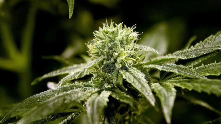 This March 22, 2019 file photo shows a bud on a marijuana plant at Compassionate Care Foundation's medical marijuana dispensary in Egg Harbor Township, New Jersey. (AP Photo / Julio Cortez, File)