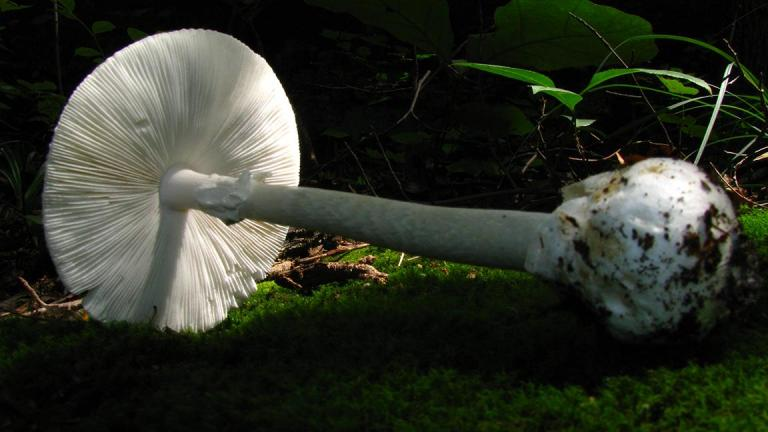 "The Amanita bisporigera mushroom is also known as the ""destroying angel."" It's considered the most toxic mushroom in North America. (Dan Molter / Wikimedia Commons)"