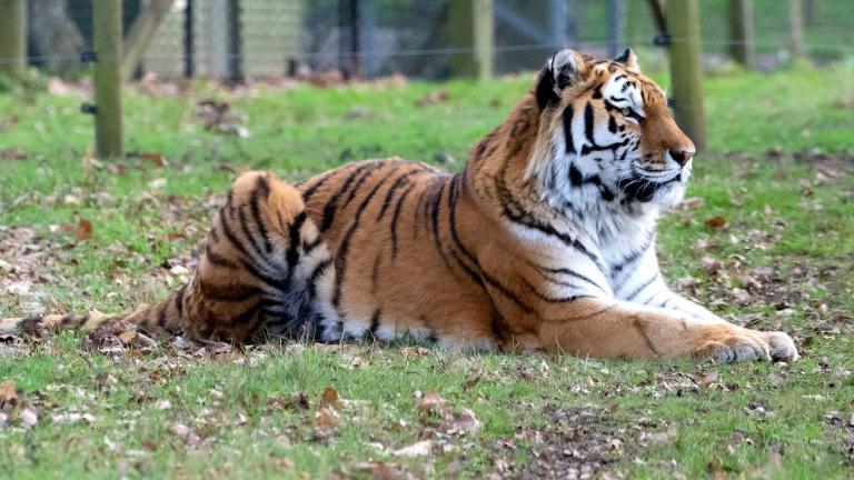 An Amur tiger. (TheOtherKev / Pixabay)