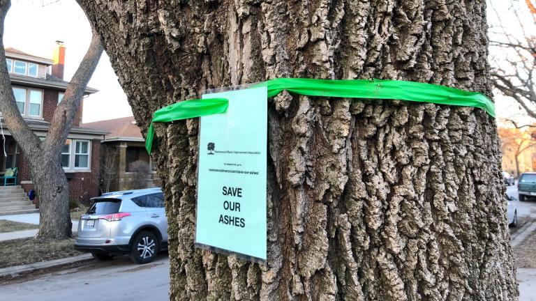 Neighbors in Ravenswood Manor are raising funds to save the area's parkway ash trees. (Patty Wetli / WTTW News)