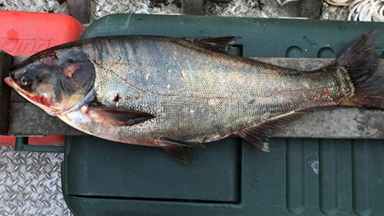 A silver carp was captured in June in the Illinois Waterway below the T.J. O'Brien Lock and Dam, about 9 miles from Lake Michigan. (Courtesy of Illinois Department of Natural Resources)