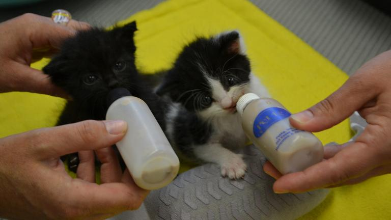 Four-week-old kittens are fed at Chicago Animal Care and Control (Alex Ruppenthal / Chicago Tonight)