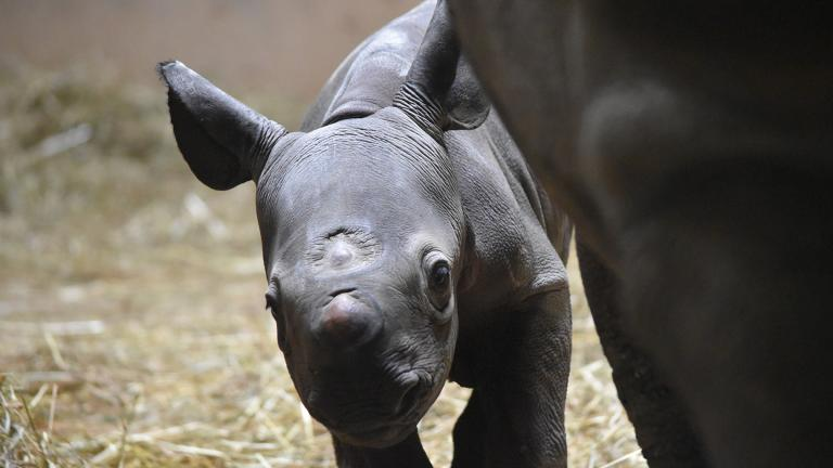 A newborn rhino calf at Lincoln Park Zoo stood on all four legs just 53 minutes after birth. (Courtesy Lincoln Park Zoo)