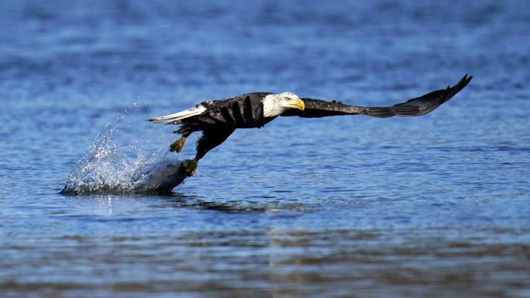 In this Nov. 20, 2020, file photo, a bald eagle grabs a fish from the Susquehanna River near the Conowingo Dam, in Havre De Grace, Md. (AP Photo / Julio Cortez)