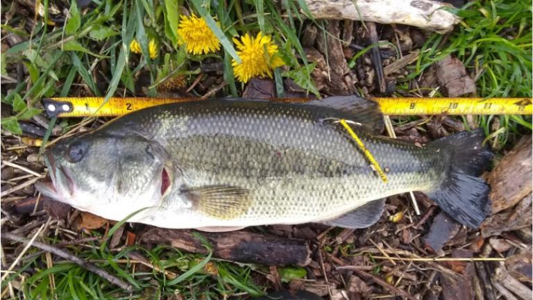 What's so special about this fish? It's all about the little yellow tag. (Metropolitan Water Reclamation District)